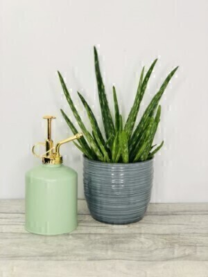 Aloe Vera Plant with Water Sprayer: Booker Flowers and Gifts