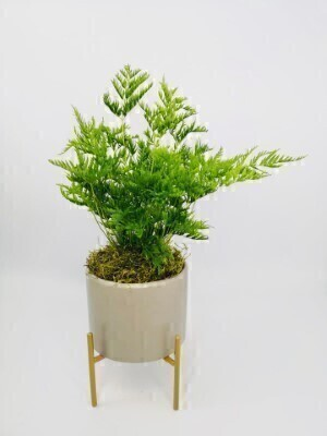 Freedom Fern in Pot: Booker Flowers and Gifts
