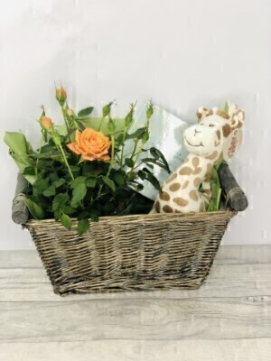 Rose Plant Chocolates and Teddy Gift Set: Booker Flowers and Gifts